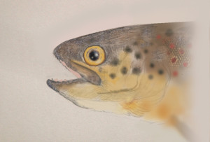 Brown trout 02